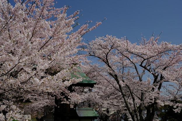 小樽の桜 天上寺その1