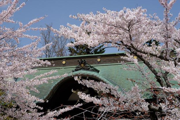 小樽の桜 天上寺その3