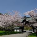 小樽の桜 天上寺その5