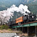 Photos: 桜とC11 190大井川鐵道SLかわね路1号