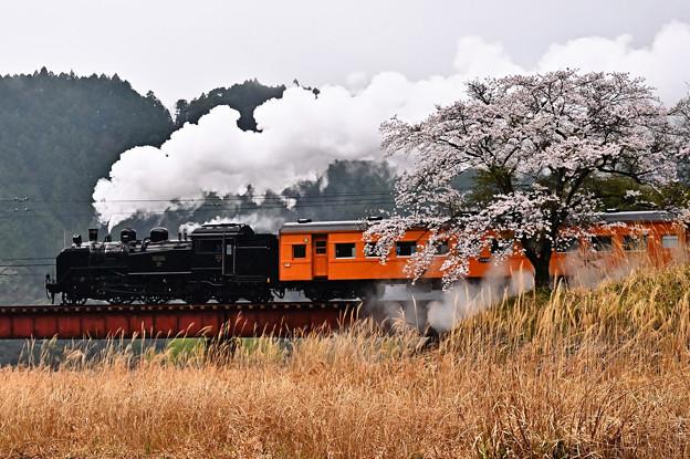 下泉の桜とC11 190牽引SLかわね路2号