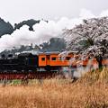 Photos: 下泉の桜とC11 190牽引SLかわね路2号