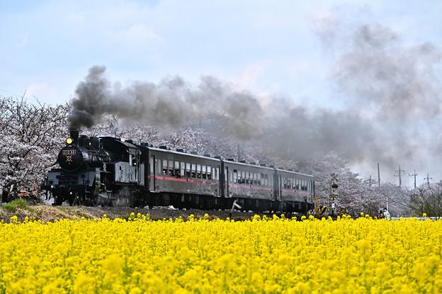 Photos: 桜と菜の花とSLもおか号