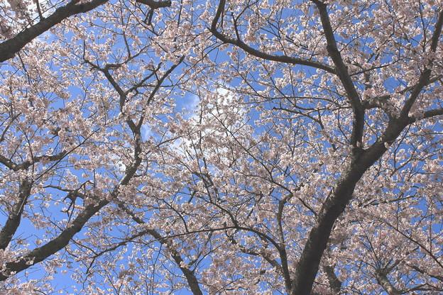 Photos: 空と桜