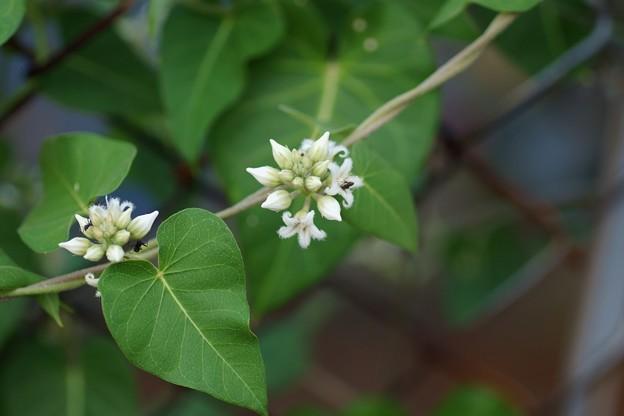 白花蘿摩(シロバナガガイモ)