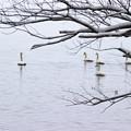 Photos: 白鳥がいっぱい