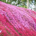 芝桜IMG_6992a