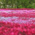 芝桜IMG_6995a