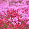芝桜IMG_6946a