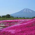芝桜と羊蹄山