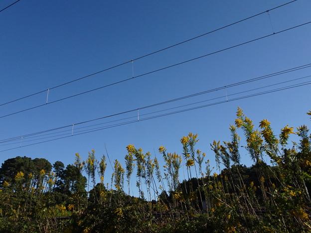 2021.10.18 きょうの風景・青空とセイタカアワダチソウ