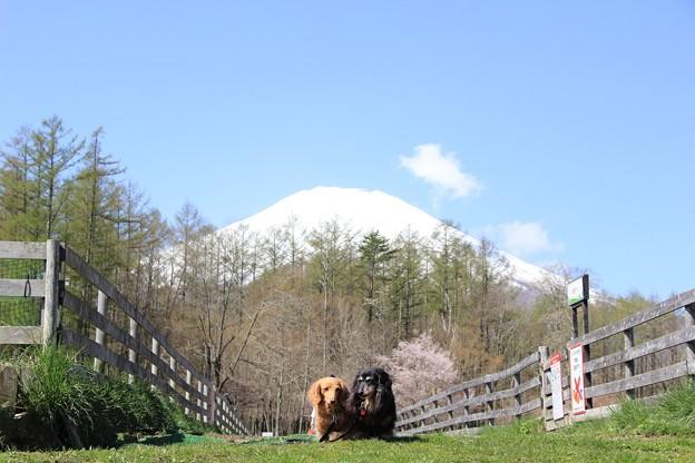 富士山と桜をバックに