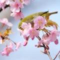 Photos: カワヅメジロン