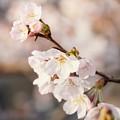 津久井湖城山公園の桜_6619
