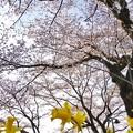 津久井湖城山公園の桜_6623