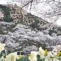 津久井湖城山公園の桜_6624