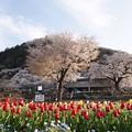 城山公園の桜とチューリップ