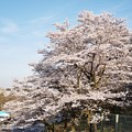津久井湖城山公園の桜_6633