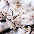 津久井湖城山公園の桜_6632