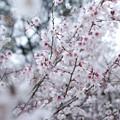 箱根公園豆桜_6966