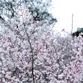 箱根公園豆桜_6967