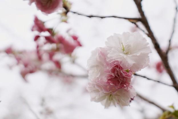 花菜ガーデン_6998