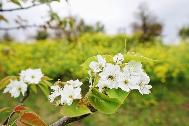 梨の花_6996