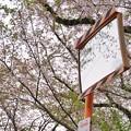 山北の桜並木_7004