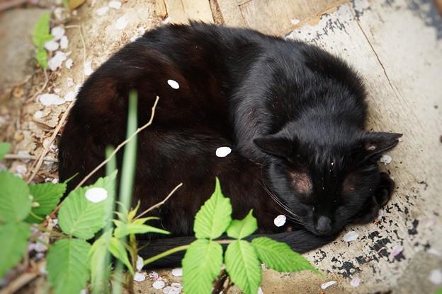 桜の花びらと猫_7008