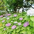 花菜ガーデン6月_8716