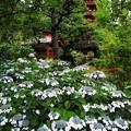 Photos: 高幡不動 紫陽花_8842