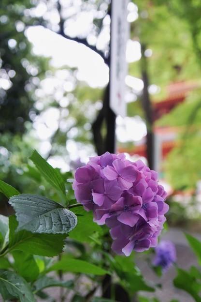 高幡不動 紫陽花_8858