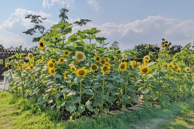 花菜ガーデン初夏_9080