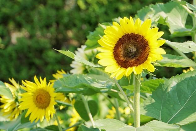 花菜ガーデン初夏_9071
