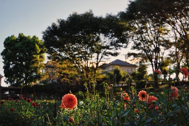 町田ダリア園_0112