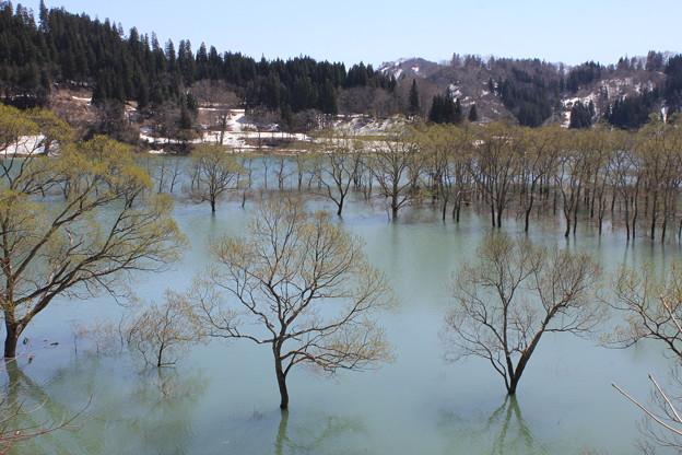白川湖の水没林
