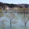 Photos: 白川湖の水没林