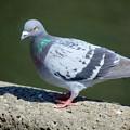 Photos: 公園の鳩