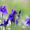 Photos: 紫の菖蒲