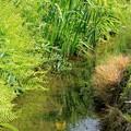 小川の黄菖蒲