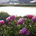 夕日の芍薬