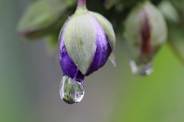 Photos: 萎んだ紫ツユクサ