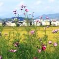 田園と秋桜