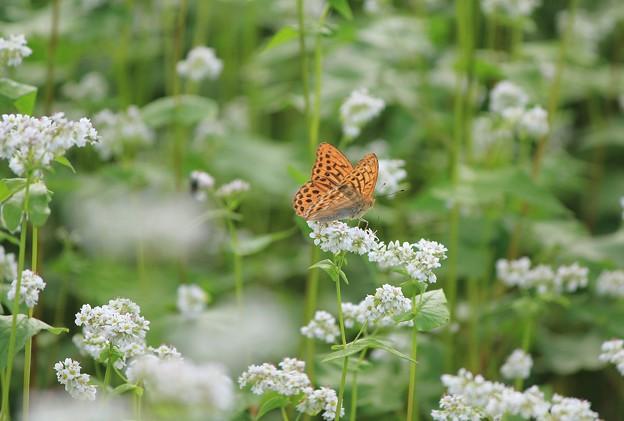 蕎麦の花に蝶