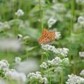 Photos: 蕎麦の花に蝶