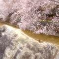 Photos: 桜花爛漫