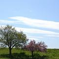 Photos: おもひで 桜