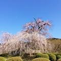 祇園枝垂桜 円山公園