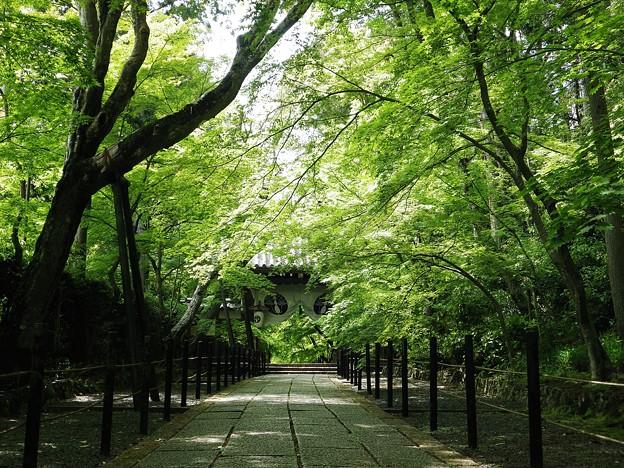 総本山光明寺の新緑