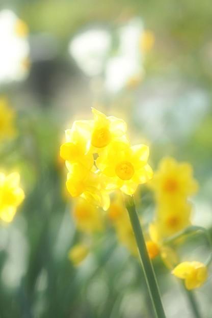 Photos: 水仙